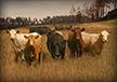 Venedi Livestock Herd