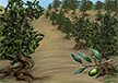 Olive Orchards
